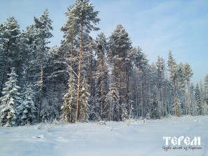 136_karelskaya_sosna