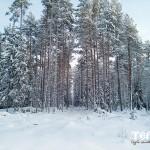 137_karelskaya_sosna