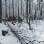 54_valka_lesa_karelia